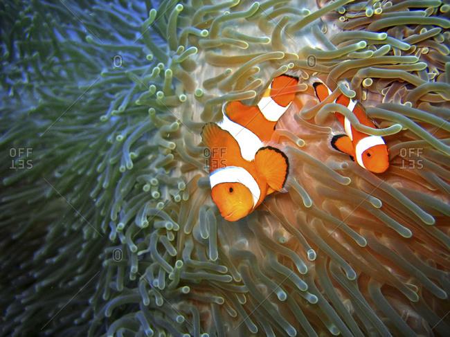 Two clownfish swimming in the sea