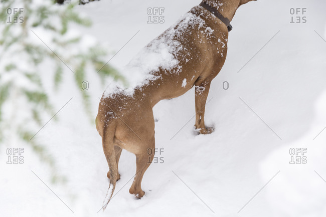Dog's back covered in snow