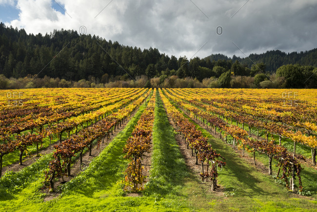 Vineyards in magnificent fall color in the Russian River Valley near Guerneville, California