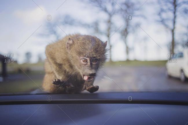 A monkey looks through a car windshield