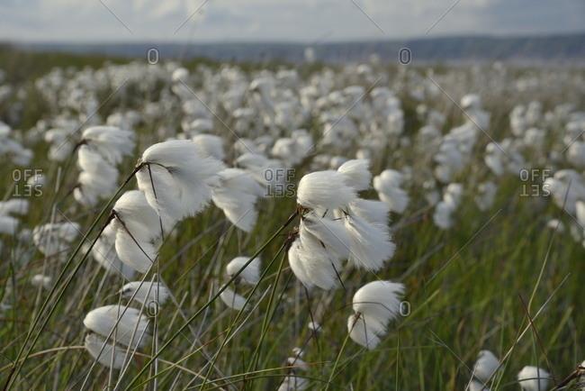 Dense stand of common cottongrass (Eriophorum angustifolium) flowering on damp moorland, the Gower Peninsula, Wales