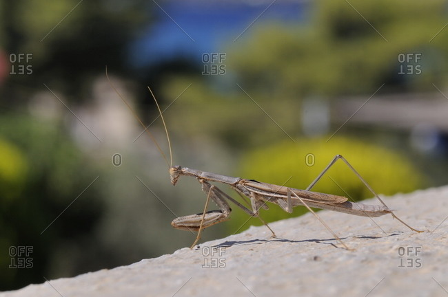 Alert praying mantis (Mantis religiosa) looking out from a hotel balcony, Kilada, Greece