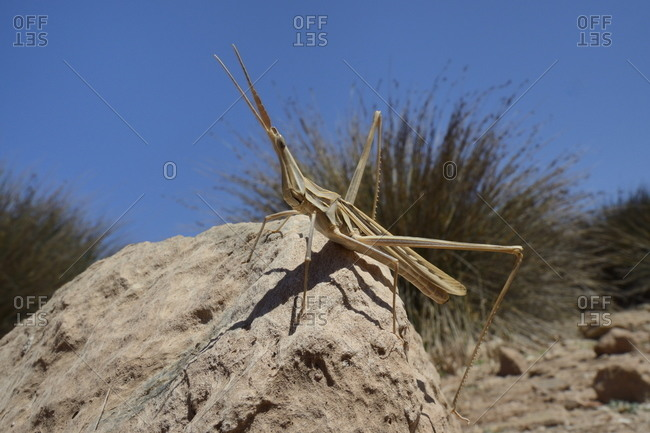 Low angle view of a male slant-faced grasshopper (big nose grasshopper) (long-nosed grasshopper) (Truxalis nasuta) standing on a boulder, Crete, Greece