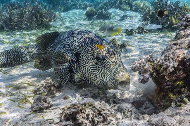 Map puffer (Arothron mappa) feeding on sponges on the house reef on Sebayur Island, Komodo Island National Park, Indonesia