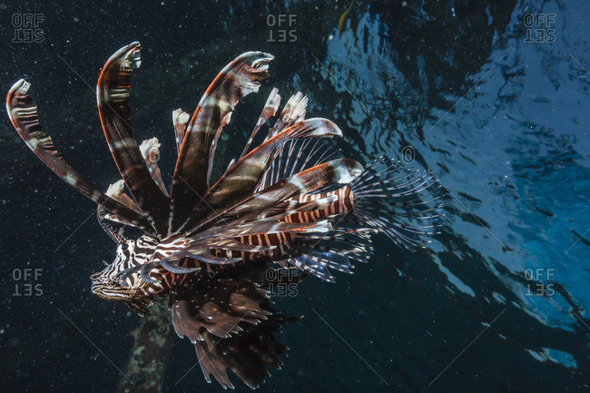 Common lionfish (Pterois volitans) at night near the dock of the Komodo Island Diving Resort, Sebayur Island, Komodo Island National Park, Indonesia