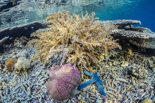 Hard and soft corals and sea star underwater on Sebayur Island, Komodo Island National Park, Indonesia