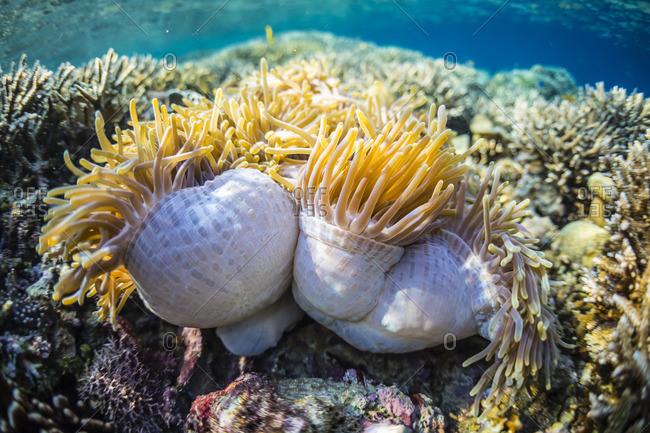 Hard and soft corals and anenomes underwater on Sebayur Island, Komodo Island National Park, Indonesia