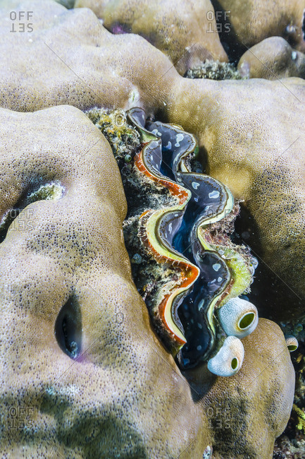 A profusion of hard and soft coral with a giant clam underwater on Tengah Besar Island, Komodo Island National Park, Indonesia