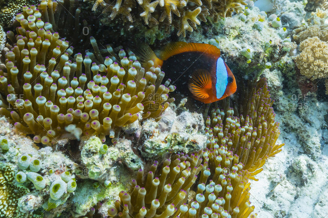 Anemonefish in anemone on underwater reef on Jaco Island, Timor Sea, East Timor