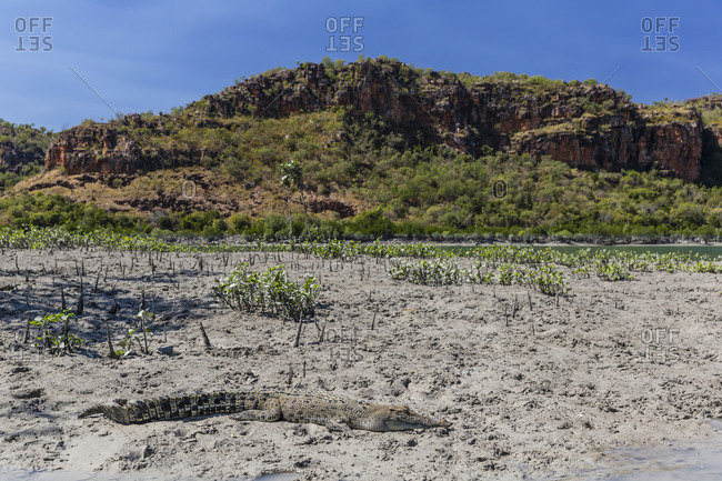 An adult wild saltwater crocodile (Crocodylus porosus) on the banks of the Hunter River in Mitchell River National Park, Kimberley, Western Australia, Australia