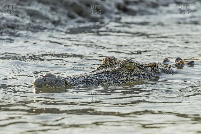 An adult wild saltwater crocodile (Crocodylus porosus) in the Hunter River in Mitchell River National Park, Kimberley, Western Australia, Australia