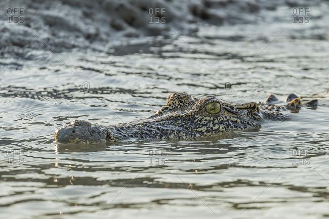 An adult wild saltwater crocodile (Crocodylus porosus) in the Hunter River in Mitchell River National Park, Kimberley, Western Australia, Australia