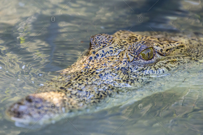 Wild saltwater crocodile (Crocodylus porosus) head detail in porous creek on the Hunter River, Mitchell River National Park, Kimberley, Western Australia, Australia
