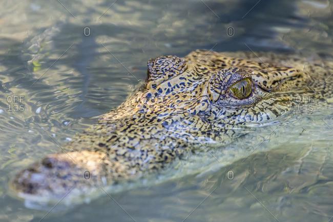 Wild saltwater crocodile (Crocodylus porosus) head detail in porous creek on the Hunter River, Mitchell River National Park, Kimberley, Western Australia, Australia
