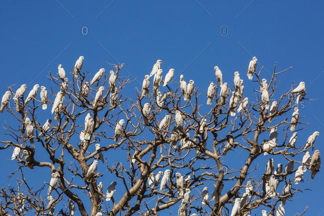 Adult little corellas (Cacatua sanguinea) in boab tree in Wyndham, Kimberley, Western Australia, Australia