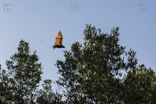 Black flying fox (Pteropus alecto) in flight on the Hunter River, Kimberley, Western Australia, Australia