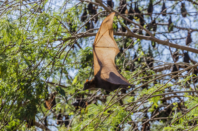 A camp of little red flying foxes (Pteropus scapulatus) in the Ord River, Kimberley, Western Australia, Australia