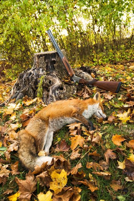 Dead fox and shotgun