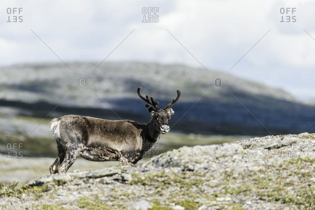 Wild deer from the Offset Collection