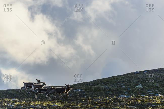 Herd of reindeer - Offset Collection