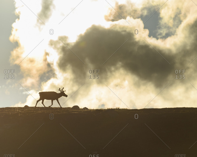 Silhouette of reindeer - Offset Collection