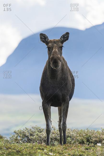 Elk looking at camera - Offset