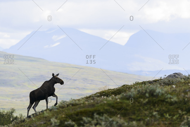 Elk in mountains - Offset Collection