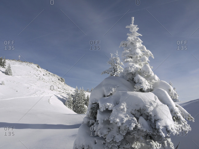 Snow covered fir trees on a mountain