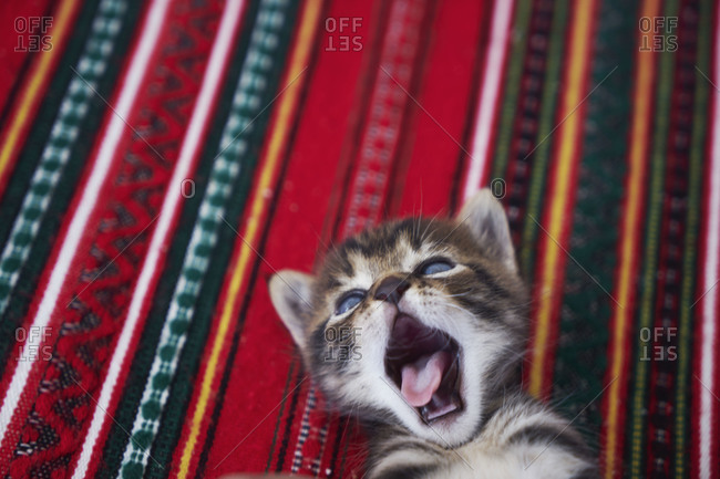 Young kitten yawning on cloth