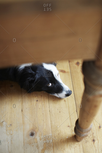 Dog under wooden furniture