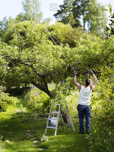 Man pruning apple tree in garden