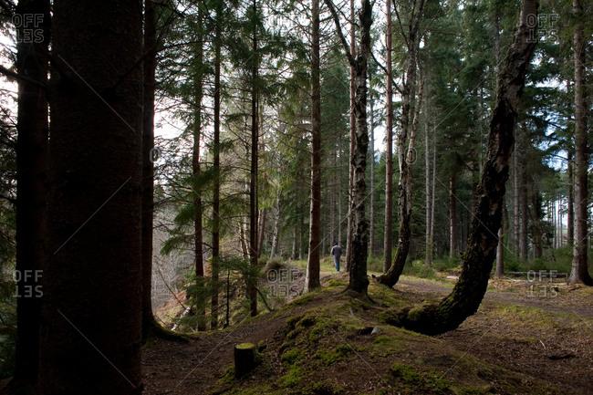 Man walking in Scottish forest