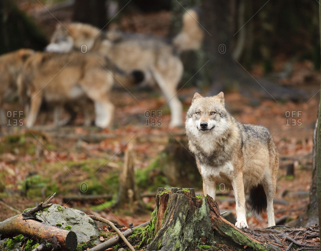 Pack of gray wolves in forest