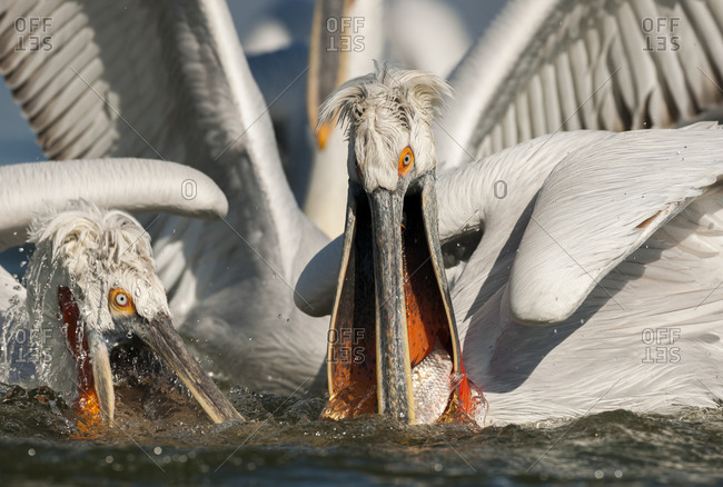 Two pelicans fighting for fish