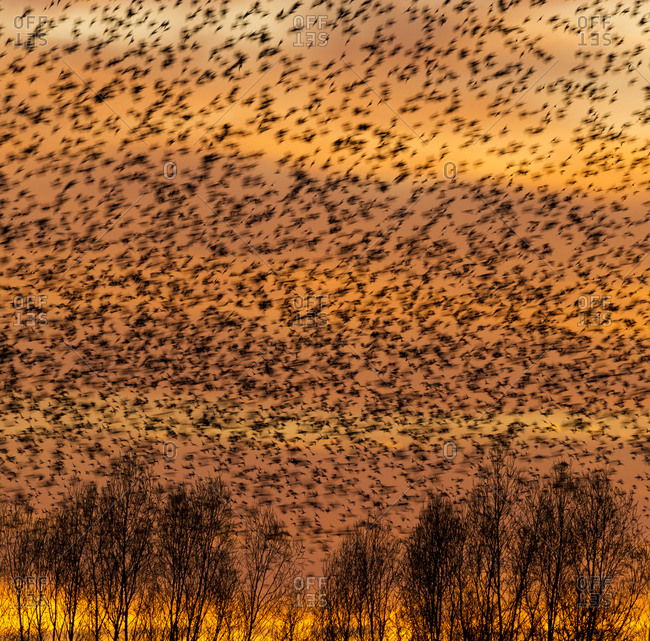 Flock of starlings swarming over trees
