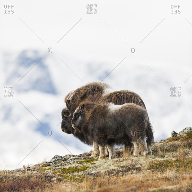 Musk oxen in Dovrefjell, Norway