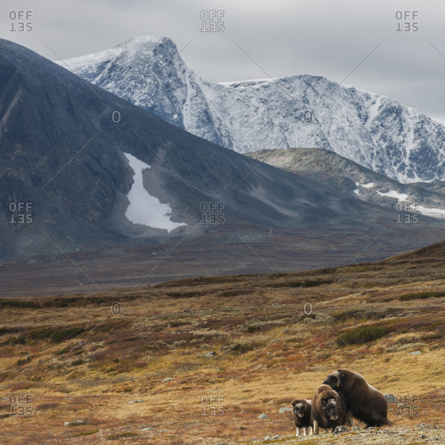 Musk oxen in a field at Dovrefjell, Norway