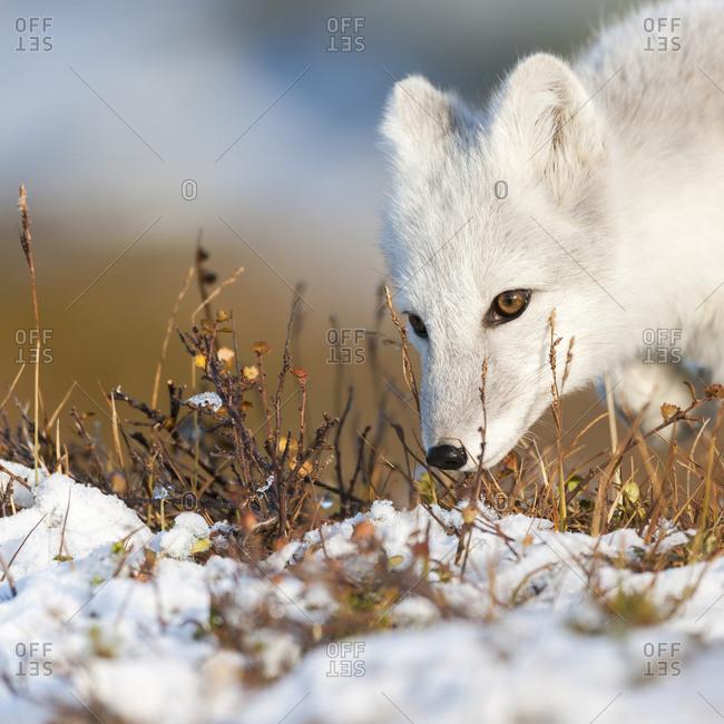 Arctic fox in rural Norway