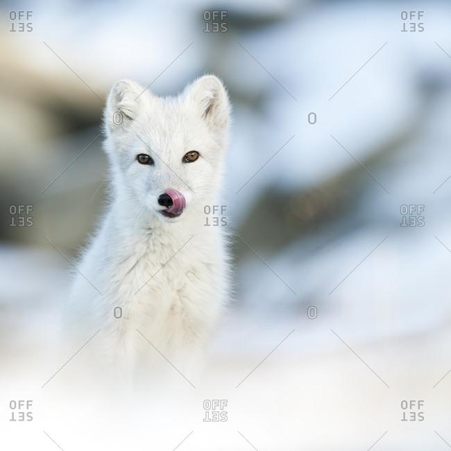 Watchful arctic fox in rural Norway