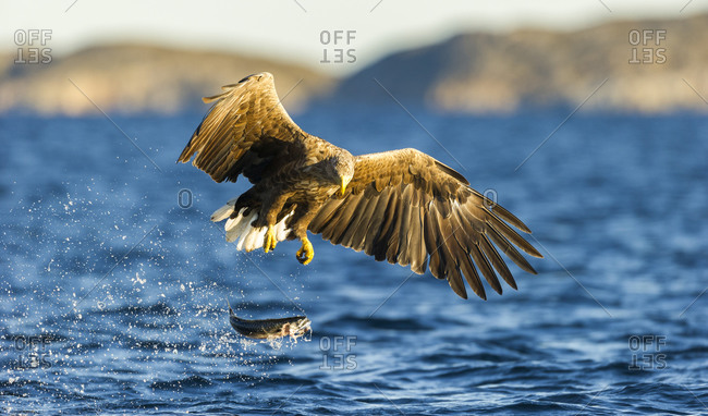 White-tailed eagle hunting in Norway