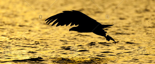 Silhouette of a white-tailed eagle in Norway