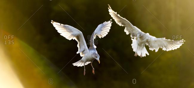 Gliding gulls in Norway - Offset