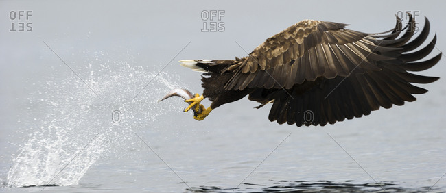 White-tailed eagle grasping a fish in Norway
