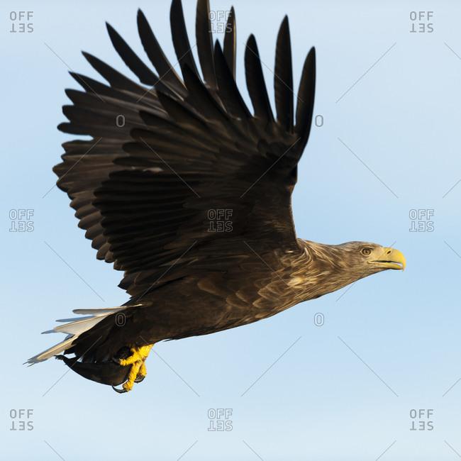 Sea eagle grasping a prey in Norway