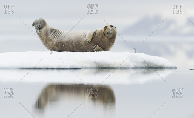 Harbor seal lying on a pack ice in Svalbard