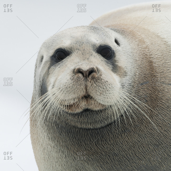 Portrait of a harbor seal in Svalbard
