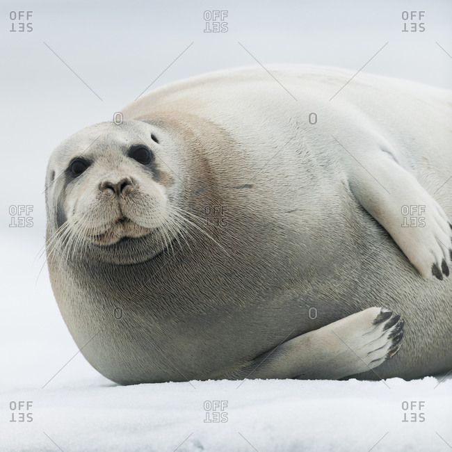 Harbor seal lying in the snow in Svalbard