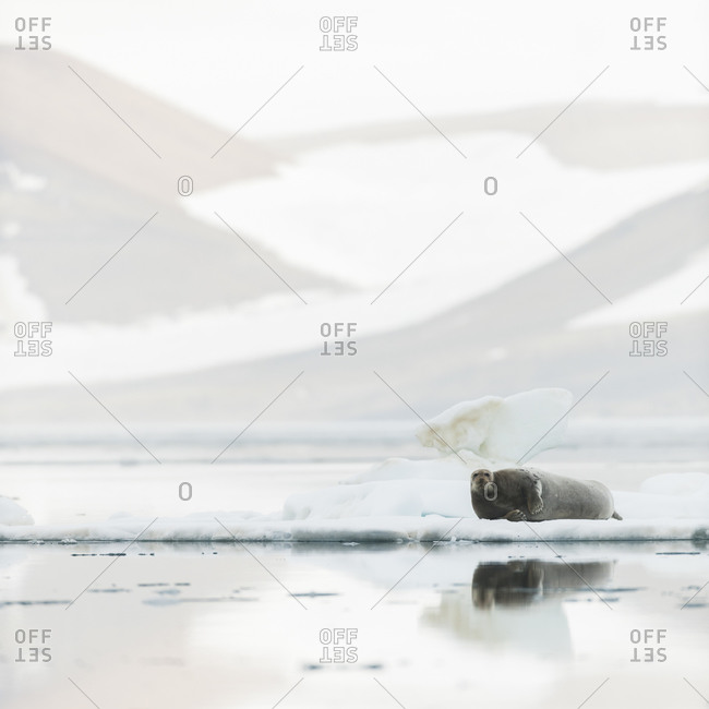 Harbor seal lying on a drift ice in Svalbard