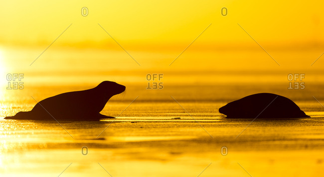 Silhouette of seals at sunrise
