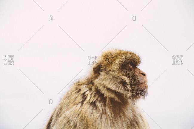 Watchful monkey in Gibraltar, Spain